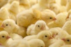 Pollos del bebé apenas llevados en la bandeja fotos de archivo