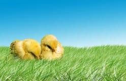 Pollos del bebé de Pascua Foto de archivo
