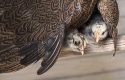 Pollos del bebé debajo del ala de la gallina de la madre Imágenes de archivo libres de regalías