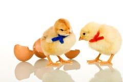 Pollos del bebé del partido de Pascua - aislados Imagen de archivo