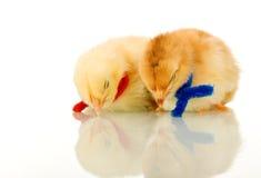 Pollos del bebé el dormir - aislados con la reflexión Imágenes de archivo libres de regalías