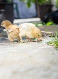 Pollos del bebé en el patio trasero Fotos de archivo