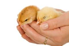 Pollos del bebé en mano de la mujer Imagen de archivo