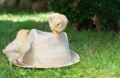 Pollos del bebé en un sombrero de paja Fotos de archivo libres de regalías