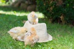 Pollos del bebé en un sombrero de paja Fotos de archivo