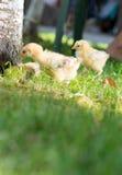 Pollos del bebé que caminan en hierba Fotos de archivo