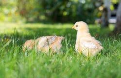 Pollos del bebé que caminan en hierba Fotografía de archivo