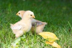 Pollos del bebé que caminan en hierba Imagen de archivo