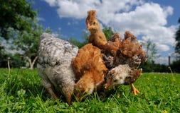 Pollos del bebé que comen de la tierra Foto de archivo libre de regalías