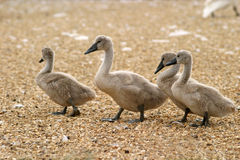 Pollos del cisne imagenes de archivo