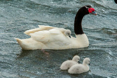 Pollos del cisne Fotos de archivo libres de regalías