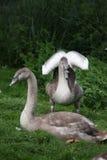Pollos del cisne imagen de archivo libre de regalías