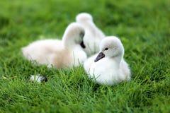 Pollos del cisne blancos del cisne Imagenes de archivo