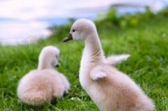 Pollos del cisne blancos del cisne Foto de archivo libre de regalías
