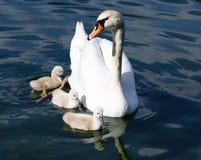 Pollos del cisne blancos del cisne Fotografía de archivo libre de regalías
