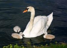 Pollos del cisne blancos del cisne con la madre Fotografía de archivo