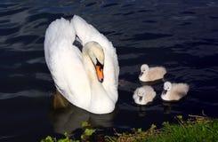 Pollos del cisne blancos del cisne con la madre Foto de archivo