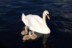 Pollos del cisne blancos del cisne con la madre Imágenes de archivo libres de regalías