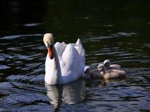 Pollos del cisne blancos del cisne con la madre Fotos de archivo libres de regalías