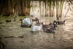 Pollos del cisne con los padres que nadan en la charca Foto de archivo libre de regalías