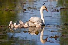 Pollos del cisne del cisne mudo y del bebé en la charca Fotografía de archivo