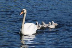 Pollos del cisne después del cisne de la madre Fotografía de archivo libre de regalías