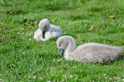 Pollos del cisne en la hierba Foto de archivo