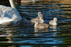 Pollos del cisne del cisne mudo Fotografía de archivo