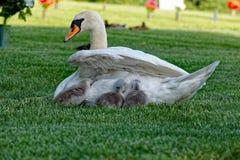 Pollos del cisne del cisne mudo que consiguen remetidos adentro Imagen de archivo libre de regalías