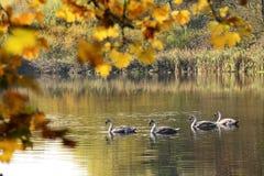 Pollos del cisne que nadan en el lago Imagen de archivo libre de regalías