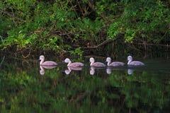 Pollos del cisne que nadan en una línea Fotografía de archivo libre de regalías