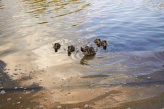 Pollos del pato con el pato en agua Fotografía de archivo libre de regalías