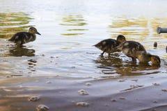 Pollos del pato con el pato en agua Imágenes de archivo libres de regalías