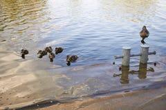 Pollos del pato con el pato en agua Fotos de archivo libres de regalías