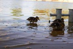 Pollos del pato con el pato en agua Foto de archivo