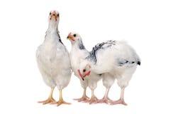 Pollos derechos Foto de archivo libre de regalías