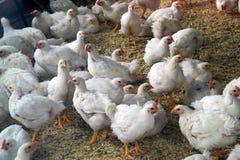 Pollos destinados para el consumo Fotos de archivo