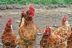 Pollos detrás de una cerca de alambre Imagenes de archivo
