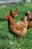 Pollos domésticos Imagenes de archivo
