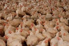Pollos en choza Fotografía de archivo