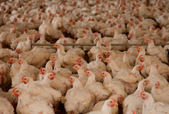 Pollos en choza