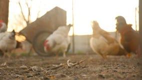 Pollos en defocus en el fondo metrajes