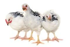 Pollos en el fondo blanco Imágenes de archivo libres de regalías