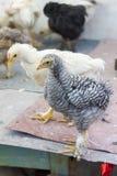 Pollos en el gallinero Imagen de archivo libre de regalías