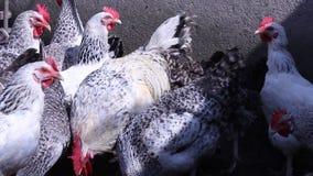 Pollos en el pueblo Pollos que comen la hierba en la yarda almacen de metraje de vídeo