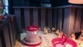 Pollos en el zoo-granja metrajes