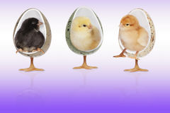 Pollos en fondo marrón de las sillas Imágenes de archivo libres de regalías