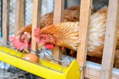 Pollos en granja avícola imagen de archivo libre de regalías