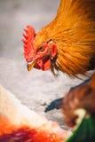 Pollos en granja avícola libre tradicional de la gama Foto de archivo
