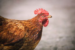 Pollos en granja avícola libre tradicional de la gama Imagen de archivo